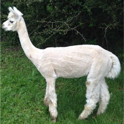 An alpaca after being sheered