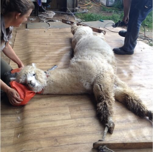 An alpaca being sheered