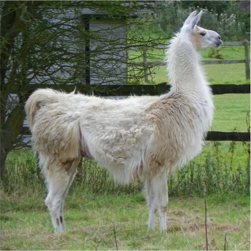 this is an Llama