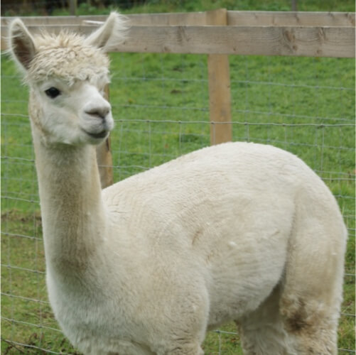 this is an alpaca