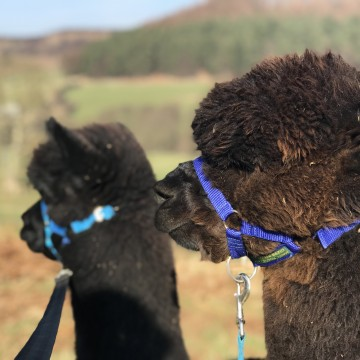 Gift Voucher for an alpaca walk for 2 people